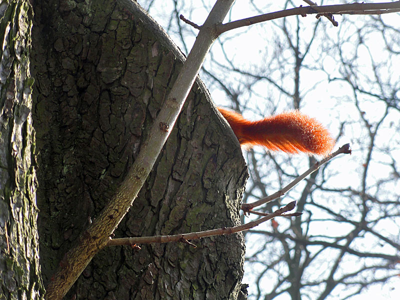 eichhörnchen-im-günthersburgpark