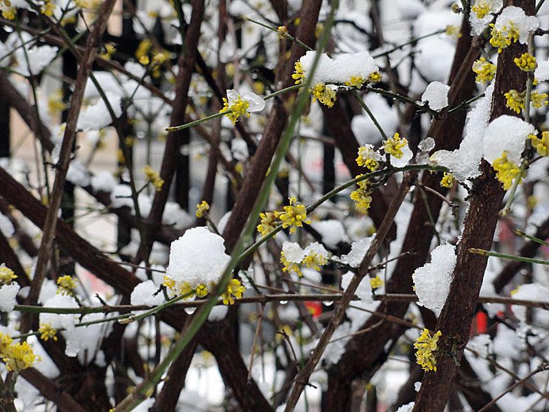 schnee-und-blüten