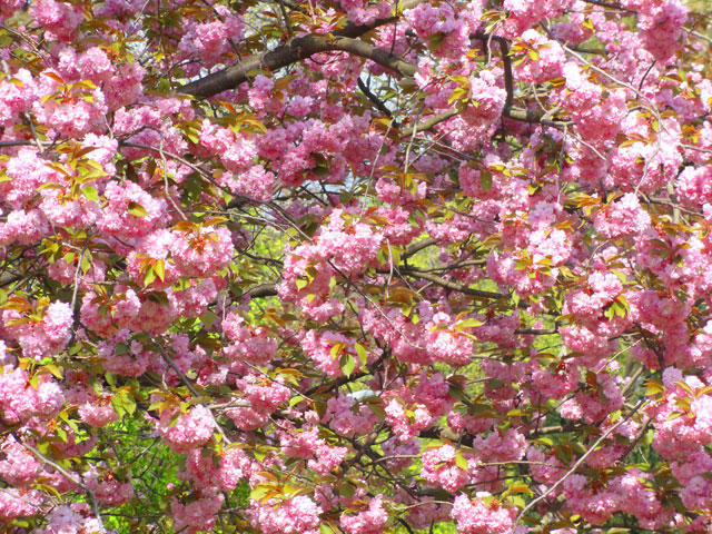 günthersburgpark-pink
