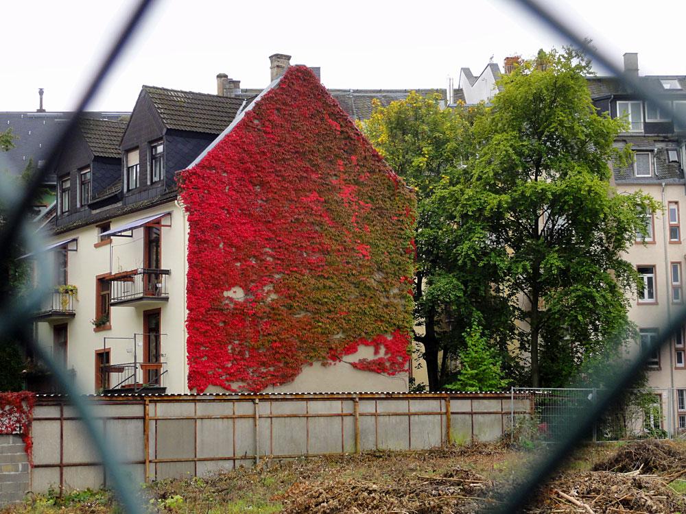 Rotes Herbstlaub in Frankfurt Bornheim