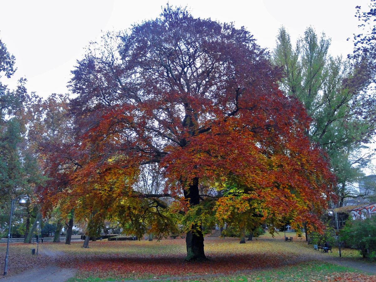 autumn-tree-frankfurt