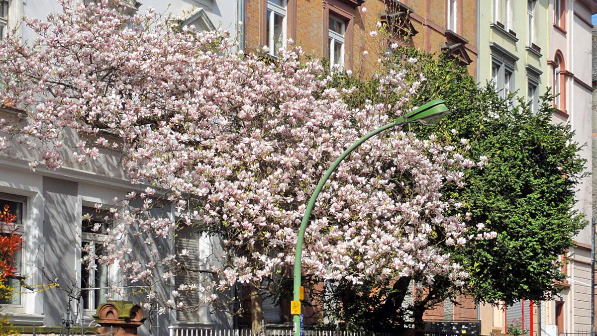 Bluehender Magnolienbaum im Nordend
