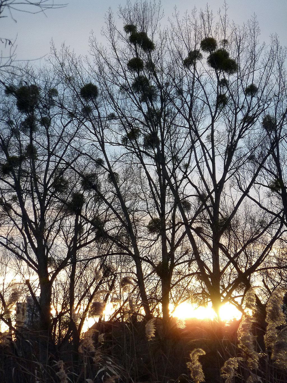 Bäume mit Nester im Ostpark