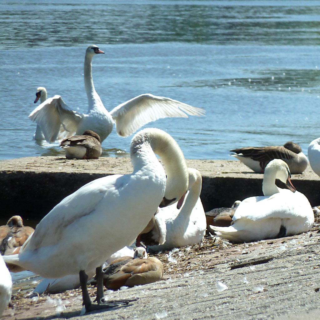 Schwäne und Enten am Offenbacher Mainufer