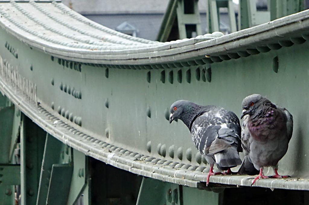 Tauben am Eisernen Steg