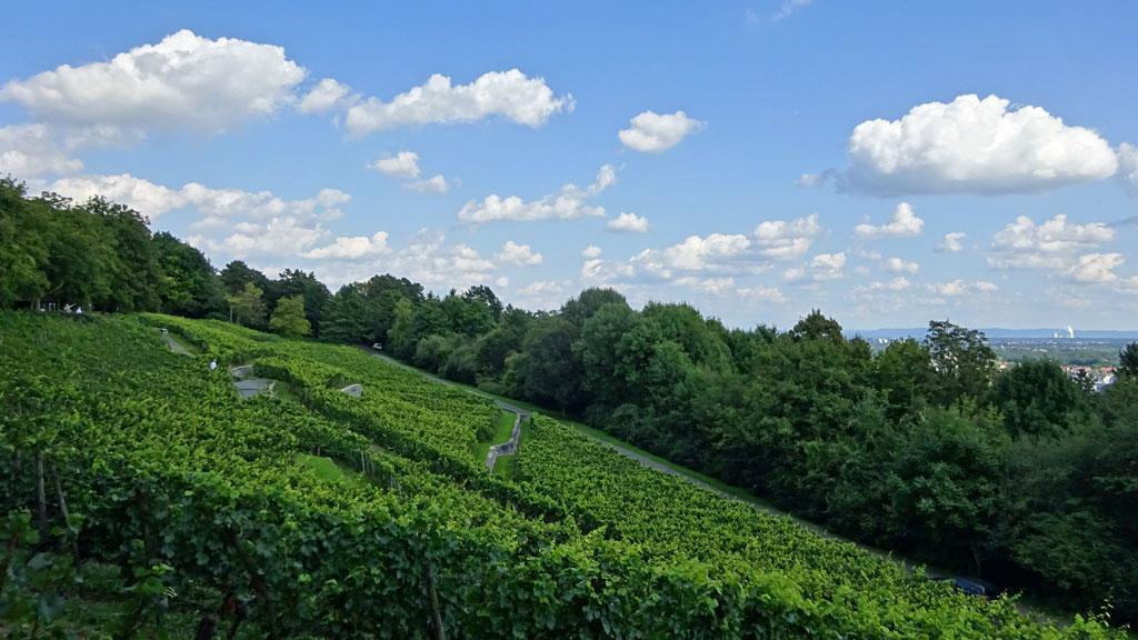 Weinbau auf dem Lohrberg in Frankfurt