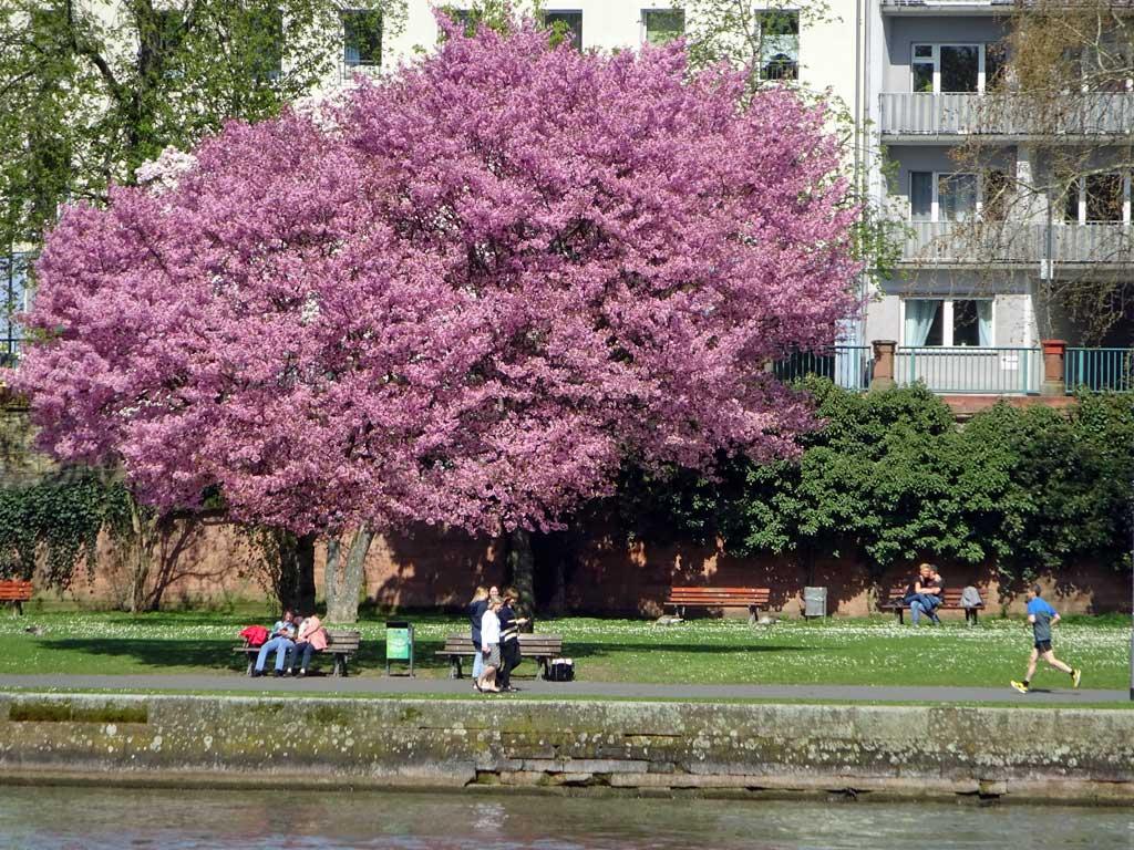 Zierkirschenbaum am Mainufer in Frankfurt am Main