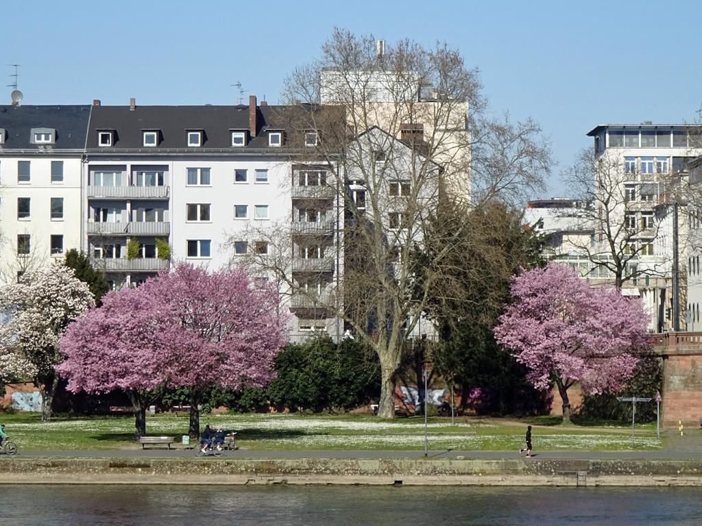 Aufblühendes Mainufer in Frankfurt
