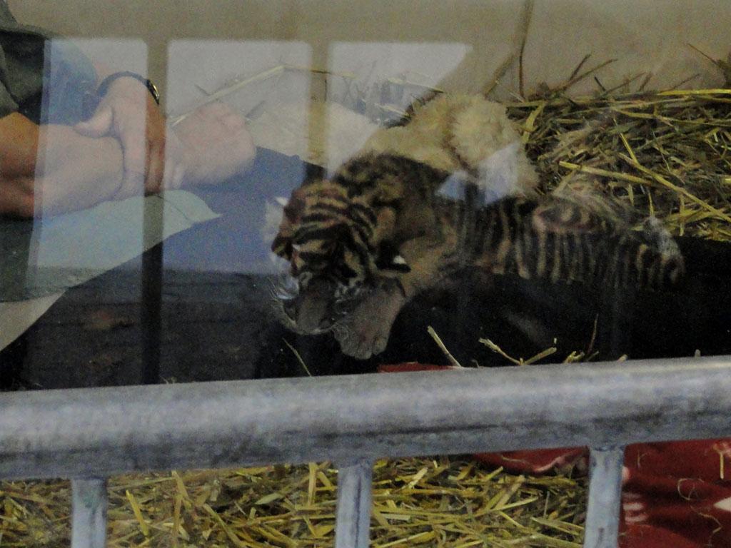 Tigerbaby Daseep