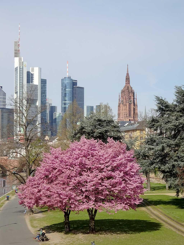Kirschblütenbaum am Mainufer mit Frankfurt-Skyline im Hintergrund