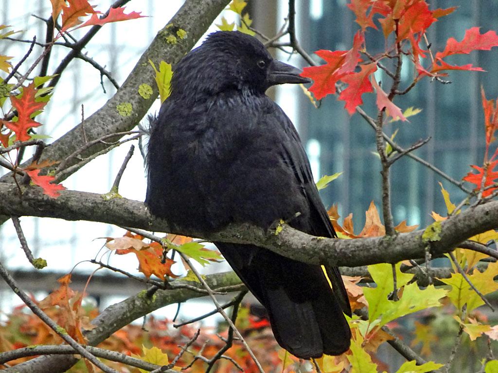 Krähe im Herbst