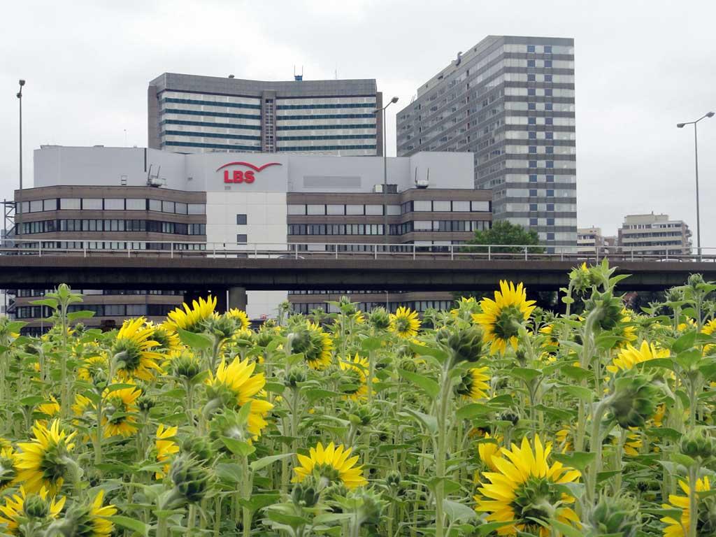 Sonnenblumenfeld im Kaiserleikreisel in Offenbach