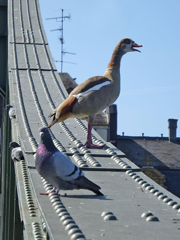 Nilgans und Tauben am Eisernen Steg