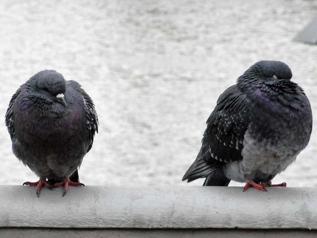 Tauben am Main